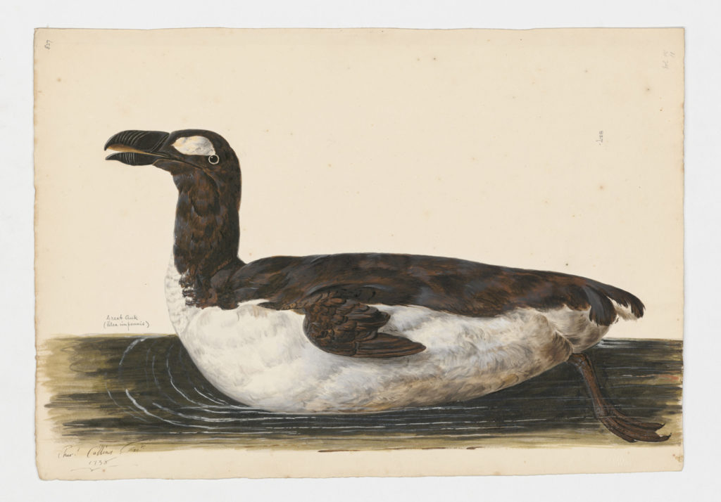 Drawing of a Great Auk from a 18th century specimen [modern geographical distribution: now believed to be extinct]